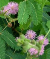 Домашний ядовитый цветок: мимоза стыдливая.
