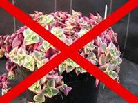 Растения, вызывающие аллергию.