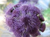 Агератум Гаустона – голубой, сиреневый или белый ядовитый цветок.