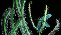 Португальская мухоловка – эффективный уничтожитель насекомых.