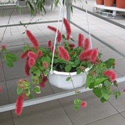 Ядовитые декоративные цветы: Акалифа  щетинистоволосая.