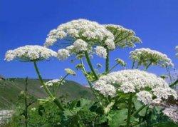 ТОП-5 ядовитых растений Адыгеи.