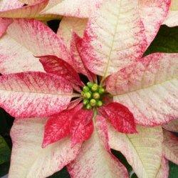 Пуантсеттия: как ухаживать за этим опасным растением.
