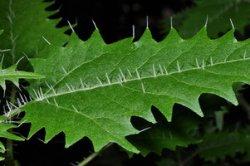 Онгаонга – растение, опасное для здоровья.