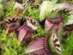 Растения, поедающие насекомых: цефалотус мешочковидный.