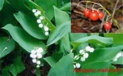 ТОП-3 опасных растений, содержащих  сердечные глюкозиды.